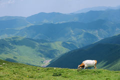 Cattle in mountain Stock Image