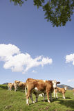 Cattle at mountain pasture. Brown cattle grazing on farmland in summer with blue sky Royalty Free Stock Photo