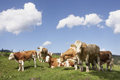 Cattle at mountain pasture. Brown cattle grazing on farmland in summer with blue sky Stock Photo