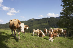 Cattle at mountain pasture. Brown cattle grazing on organic farm at mountain pasture in summer Royalty Free Stock Image