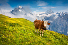 Cattle on a mountain pasture. Royalty Free Stock Images