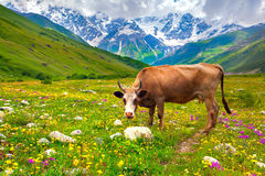 Cattle on a mountain pasture Royalty Free Stock Photography