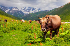 Cattle on a mountain pasture Royalty Free Stock Images