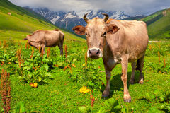 Cattle on a mountain pasture Stock Photos