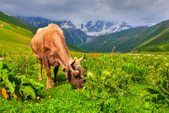 Cattle on a mountain pasture Royalty Free Stock Photo