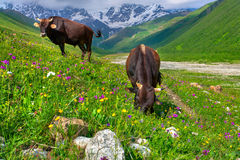 Cattle on a mountain pasture. Stock Images