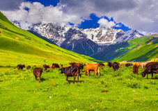 Cattle on a mountain pasture. Royalty Free Stock Photos