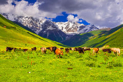 Cattle on a mountain pasture. Stock Image