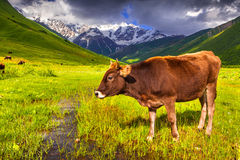 Cattle on a mountain pasture. Royalty Free Stock Photo