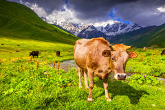 Cattle on a mountain pasture. Royalty Free Stock Image