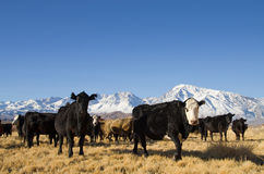Cattle with mountains Royalty Free Stock Images
