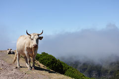 Cattle in the mountains of Madeira. Portugal Stock Photography