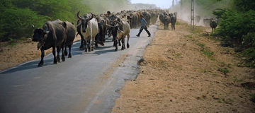 Cattle on the move in the Kutch Stock Photos