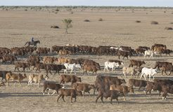 Cattle muster Royalty Free Stock Photos