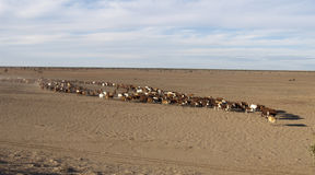 Cattle muster Stock Photo