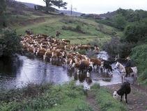 Cattle muster Stock Image