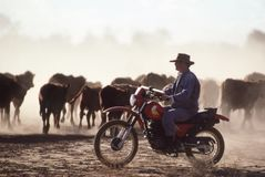 Cattle mustering on motor bike. Northern Territory,Australia-June 16, 1990. Stockman on a motor bike mustering cattle on an outback cattle station in the Royalty Free Stock Photos