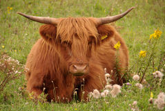 Cattle at a natural isle Stock Photography