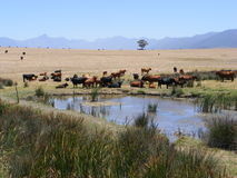 Cattle near and far Royalty Free Stock Photos