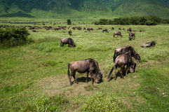 Cattle at Ngorongoro crater, Tanzania Stock Image