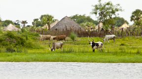 Cattle at the nile river in South Sudan Royalty Free Stock Photos