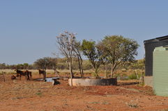 Cattle in outback near water watering hole Stock Photos