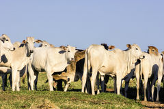 Cattle outdoor on a farm Stock Image