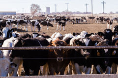 Cattle in outdoor feedlot Stock Photography