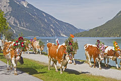 Cattle output. 2011 in Tyrol Royalty Free Stock Image