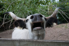 Cattle. Ox grunts on the farm Stock Photography