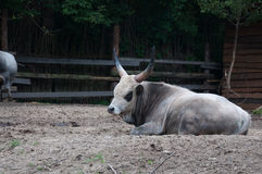 Cattle. Ox is resting on the farm Royalty Free Stock Photos