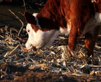 Cattle; ox; a surname; moggy; moo-cow. A calf filmed in the wild stock photo