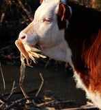 Cattle; ox; a surname; moggy; moo-cow. A calf filmed in the wild royalty free stock photography