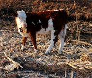 Cattle; ox; a surname; moggy; moo-cow. A calf filmed in the wild royalty free stock image