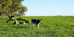 Cattle in a paddock, Royalty Free Stock Photo