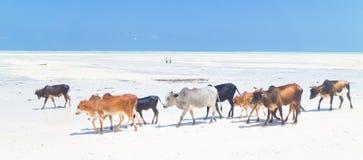 Cattle on Paje beach, Zanzibar. Stock Photo