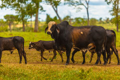 Cattle in Pantanal, Brazil, South America.  Royalty Free Stock Photo