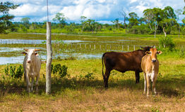 Cattle in Pantanal, Brazil, South America Stock Photo