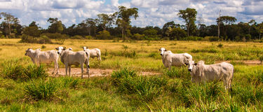 Cattle in Pantanal, Brazil, South America Stock Image
