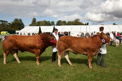 Cattle parade Stock Image