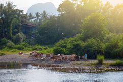 Cattle passing by the Nam Song River in Vang Vieng, popular tourist resort town in Laos. Cattle passing by the Nam Song River in Vang Vieng, popular tourist Stock Image