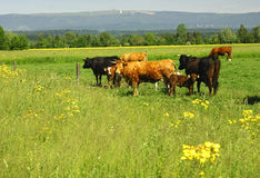 Cattle on a pasture Royalty Free Stock Images