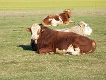 Cattle in Pasture. Herd of cattle lying in a sunny rural pasture royalty free stock images