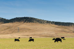 Cattle at pasture Royalty Free Stock Photos