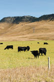 Cattle at pasture Stock Photos