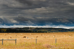Cattle at pasture Royalty Free Stock Images