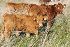 Cattle on pasture stock photo