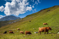 Cattle on pasture in the Alps Royalty Free Stock Images