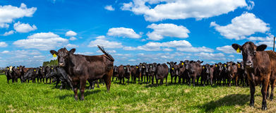 Cattle in a Pasture Royalty Free Stock Photos