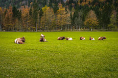 Cattle on pasture, autumn colors, forest in background; European Alps Stock Image
